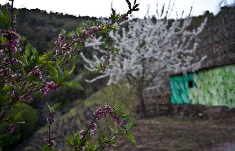reforestando na ribeira sacra en flor