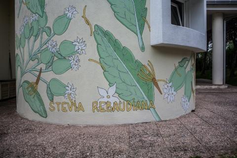reforestando stevia rebaudiana doa ocampo 2