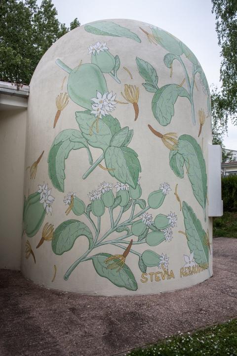 reforestando stevia rebaudiana doa ocampo 7