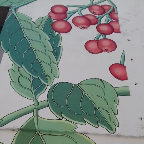 sorbus aucuparia doa oa reforestando 3
